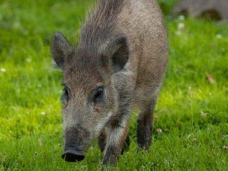 Herstellung und Gewinnung von Wildschweinborsten